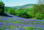 Bluebells near ourholiday cottage in Wales